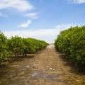 Une mangrove d'un précédent programme de reforestation, qui a atteint sa maturité.