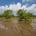 Il faut 3 ans pour qu'un pied de mangrove atteigne sa taille adulte.