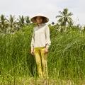 Madame PHUONG cultive des joncs en enrichissant son sol avec le bio fertilisant produit par la communauté. Sa terre a retrouvé un taux de salinité normal après avoir été dévastée par la précédente tempête. Madame PHUONG est membre du CMB (Community Managment Board), l'entité communautaire créée pour développer ce programme.